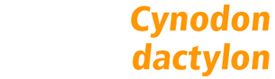 Cynodon dactylon Jubilee