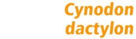 Cynodon dactylon Transcontinental SMG