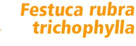 Festuca rubra trichophylla Baroyal