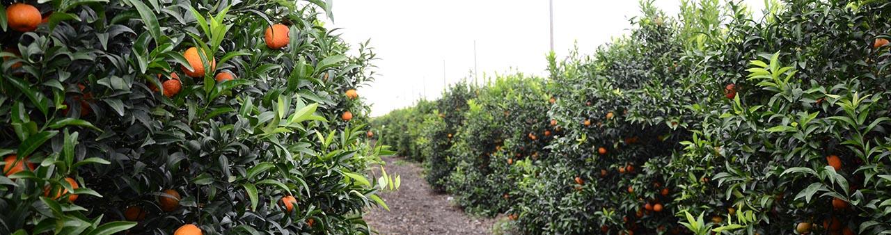 Fertilizantes Para Cultivo De C Tricos Icl