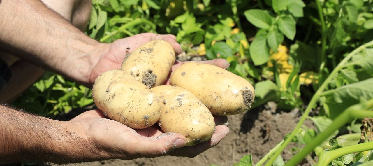 Image result for slow-release specialty fertilizers potatoes